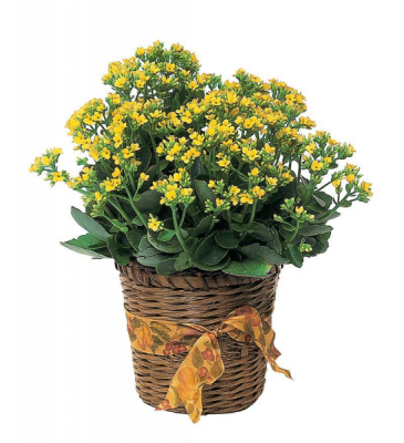 Kalanchoe- variety of colors Plants