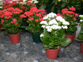 Kalanchoe Plants