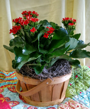 Kalenchoe Basket Plants