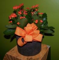 Kaptivating Kalanchoe Blooming Plant