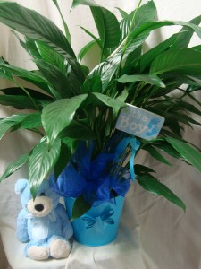 IT'S A BOY!! 6' PLANT in a Tin container for a boy or girl with a pic that says IT'S A BOY OR ITS A GIRL AND SMALL BLUE OR PINK STUFFED ANIMAL AND BOW!