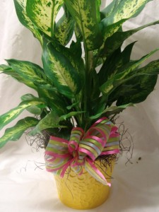 """6"""" GREEN PLANT IN TIN CONTAINER WITH LINER AND BOW NICE KEEPSAKE!"""