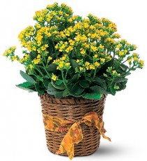 Kolanchoe Plant