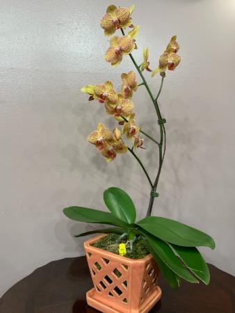 KV Beauty Phalaenopsis Orchid