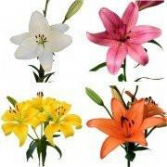 L.A Asiatic Lily Bunch