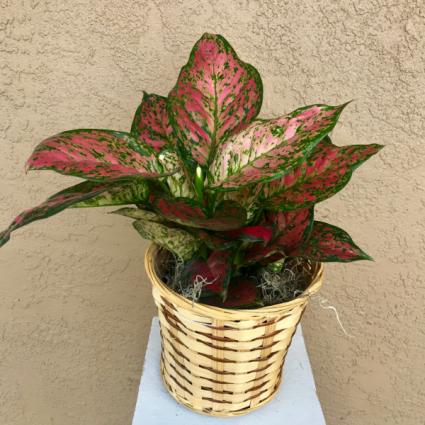 Lady Valentine Plant