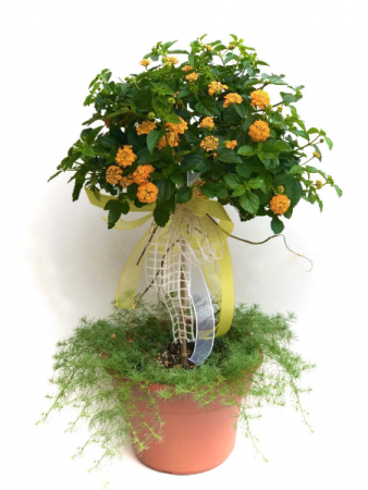 Lantana topiary Outdoor Planter