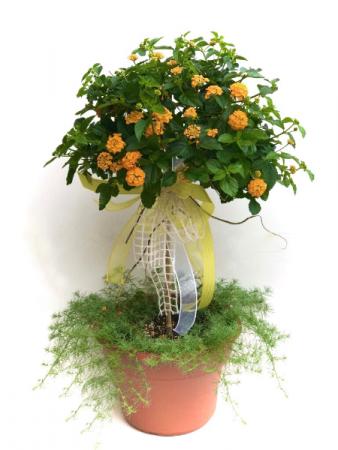 Lantana topiary Outdoor Planter
