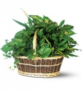 Large Basket Dishgarden plants