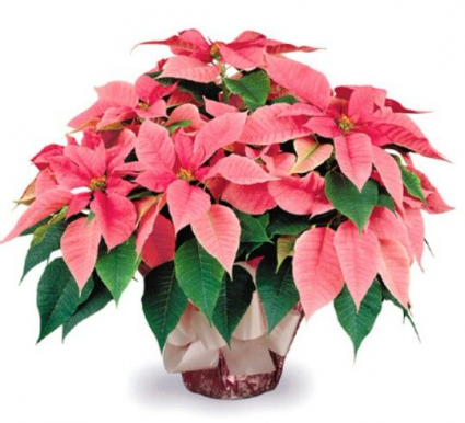 Beautiful Pink Poinsettia Live Plant