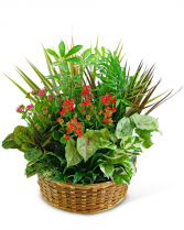 Large Blooming Dish Garden Plant