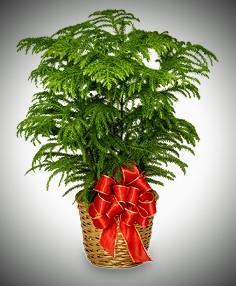 Large Christmas Tree Live Tree in Magnolia, TX | ANTIQUE ROSE FLORIST