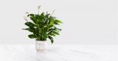 Large Comfort Planter Peace Lily/ Plant