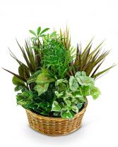 Large Dish Garden Plant