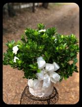 Large Gardenia Bush