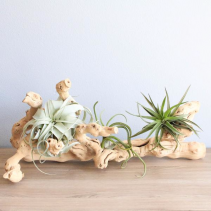 Large Grapevine Display Tillandsia Air Plants