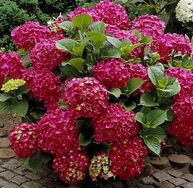 Large Hydrangea  Plant