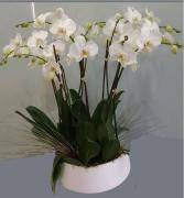 Large Orchid Arrangement in Modern Ceramic 4 Double White Orchids