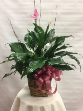 Large Peace Lilly Single Plant Basket