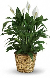 PEACE LILY Green Plant in Benbrook, TX | BENBROOK FLORAL LLC.