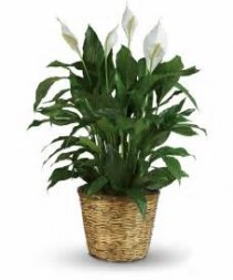 Peace Lily (Spathiphyllum)-Large $75.95, $85.95, $100.95