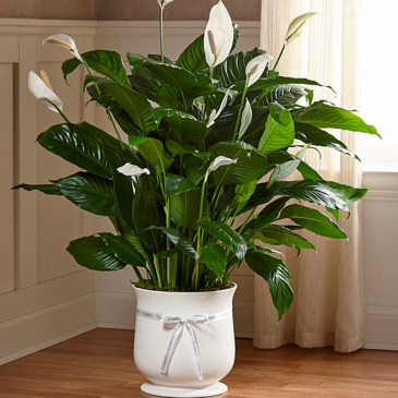 Large Peace Lily With ceramic & comfort ribbon  Funeral & Everyday