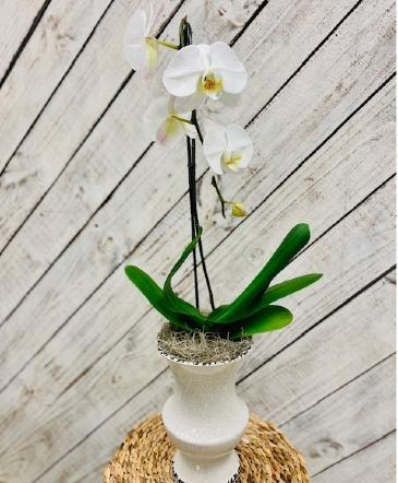 Large Phalaenopsis Orchid