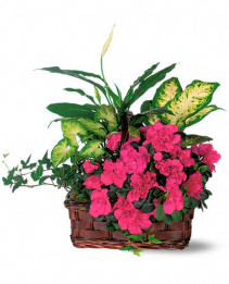 Large planter basket with azaela plants