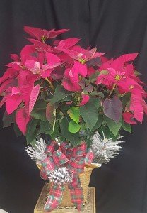 Large Poinsettia Christmas