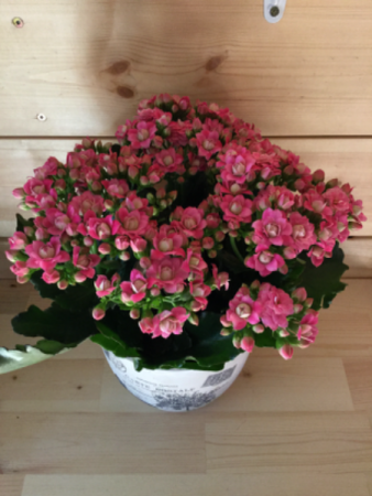 Large potted Kalanchoe