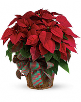 Large Red Poinsettia 14