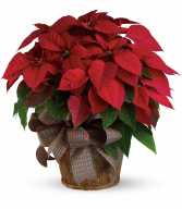 Large Red Poinsettia H1223A