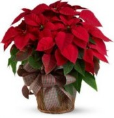 Large Red Poinsettia Holiday Plant