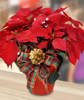 Large Red Poinsettia Plant