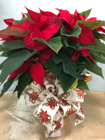 Large red pointsettia plant