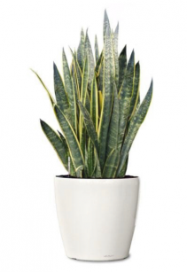Large Sansevieria Planter