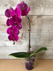 Large Single Stem Pink Waterfall Orchid Orchid in a pot