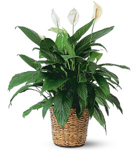 Large Spathiphyllum Plant  in Auburndale, FL | The House of Flowers