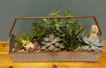 Large succulent planter Succulents in a tool box