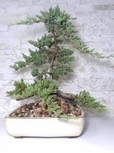 Large Upright Juniper Bonsai