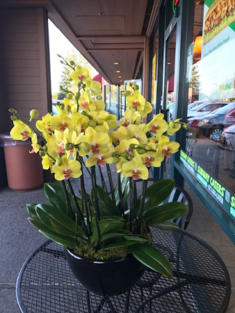 Large yellow orchid in black pot or white pot