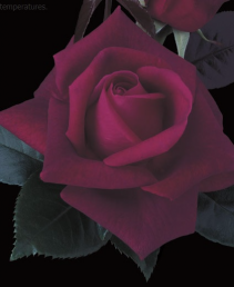 Lasting Love™ 5 gallon - Hybrid Tea