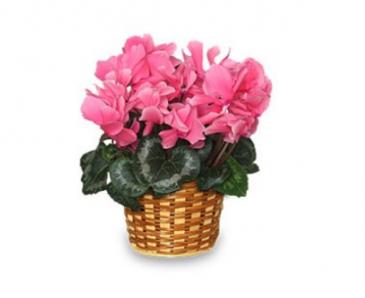 Lasting Love Cyclamen Plant