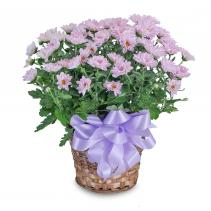 Lavender Chrysanthemum Basket Plant