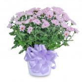 Lavender Chrysanthemum in Ceramic Container Arrangement
