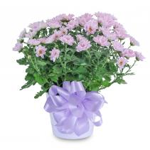Lavender Chrysanthemum in Ceramic Container Arrangement