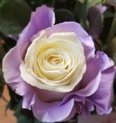 LAVENDER EDGES WITH WHITE INSIDE ROSE 1 DOZEN