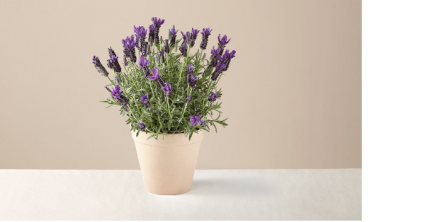 Lavender Plant Mother's Day