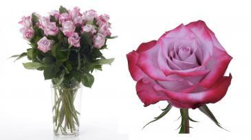 Lavender Roses, Arranged Arrangement