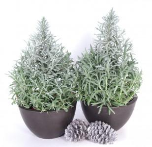 Lavender Tree Plant